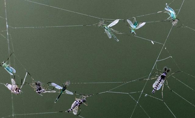Pókhálóban fennakadt árvaszúnyogok a Balaton partján