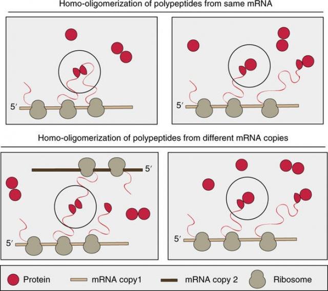 Ilyen módokon tekeredhetnek fel szintézis közben az azonos alegységekből (homo-oligomerekből) felépülő fehérjekomplexek