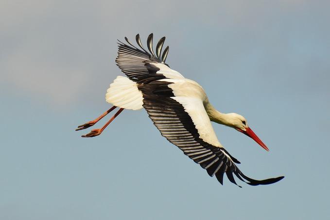 Vezess, kövess vagy szállj ki korábban – így vonulnak a gólyák egy most publikált kutatás szerint