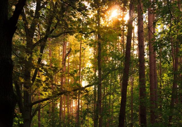 Napsütés egy Berlin melletti (Rahnsdorfermuhle) erdőben. Az EU szárazföldjének 42%-át, 161 millió hektárt borítanak erdők 2015-ös adatok szerint