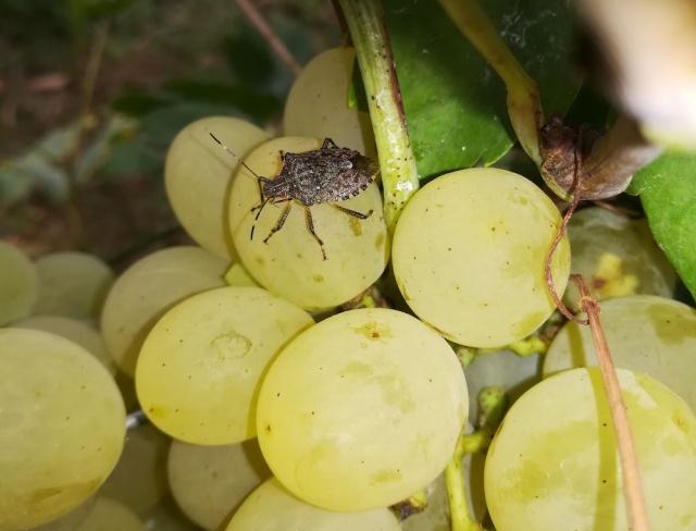 Vándorpoloska (Nezara viridula) egy szőlőfürtön