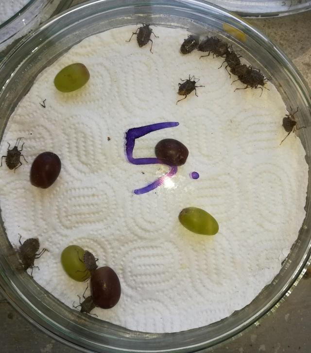 Vándorpoloska-kísérlet az MTA AK Növényvédelmi Növényvédelmi Intézetben