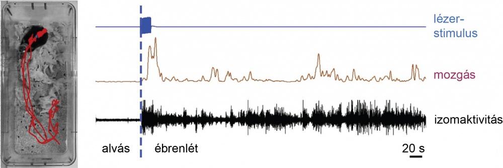 Alvás során a DMT kalretininsejtjeinek szelektív aktiválása lézerrel (kék) hosszú idejű felébredést okoz. A kísérleti állat elhagyja a fészkét (piros vonal jelezte útvonalon mozog; bal oldali fotó), és tartós percekig fennálló mozgás- (lila) és izomaktivi