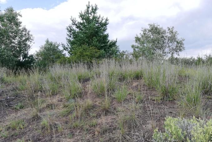Homokterületek új pestise – egy eddig szinte ismeretlen inváziós fűfaj terjed Magyarországon